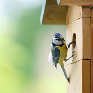 Mesange sur son nid