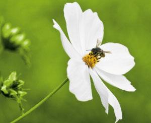 biosurveillance abeille