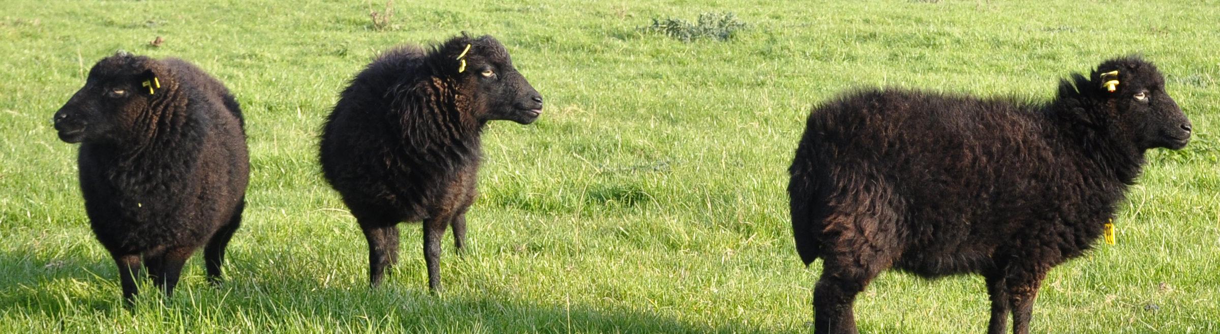 mouton ouessant ecopaturage